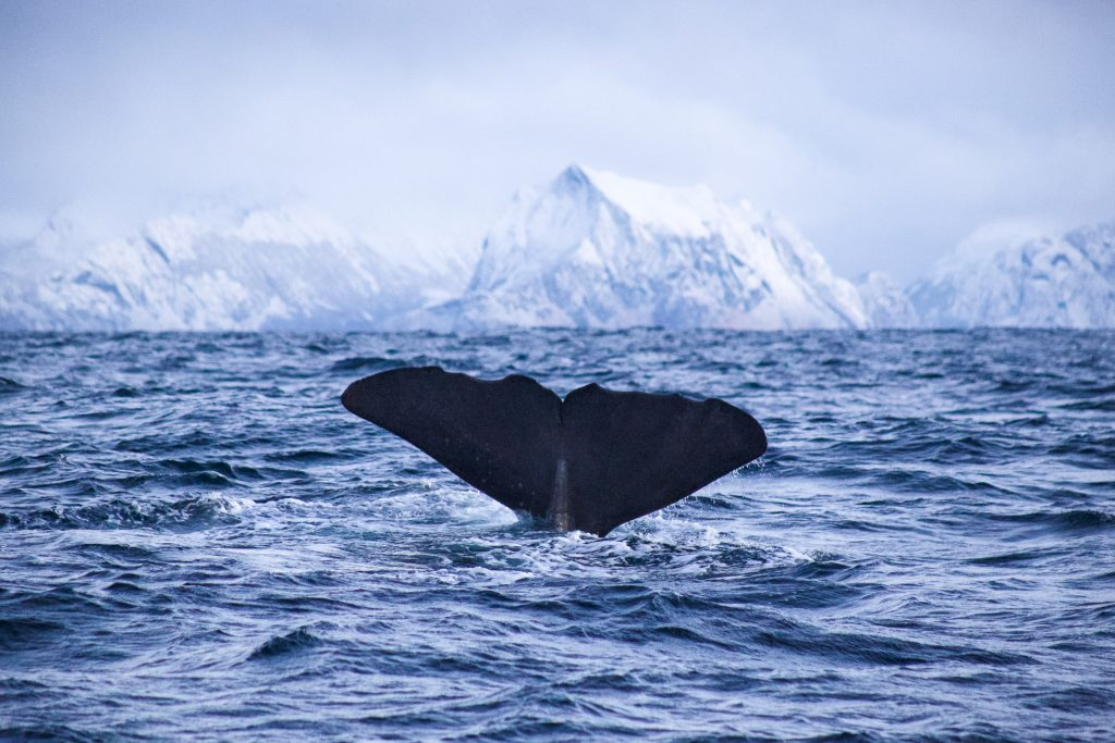 Whale diving in Arctic Fjord Landscape
