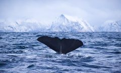 Humpback whale diving in arctic fjord landscape