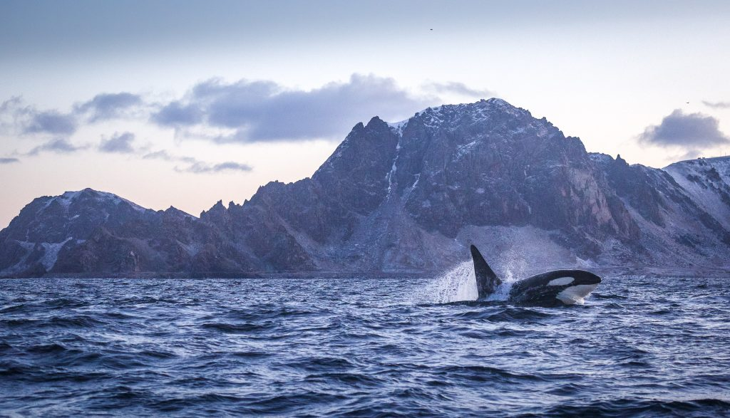 Orca happy jump in Arctic Fjord Landscape