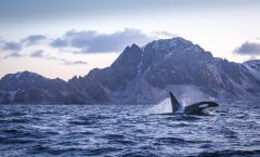 Orca happy jump in arctic fjord