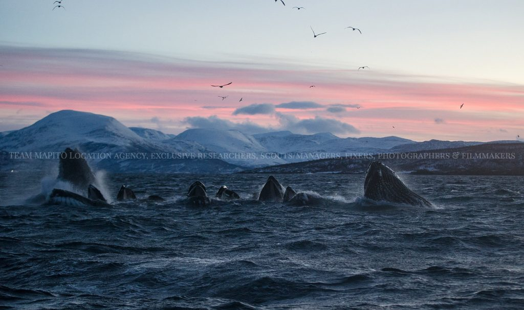 Humpback whales fishing
