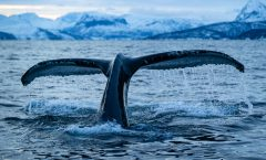 Whale tail by Piet fotograaf TEAM MAPITO
